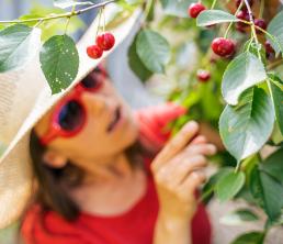 femme qui cueille des cerises sur un arbre